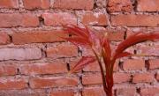 醃香椿芽的做法圖解1