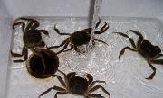 清蒸大閘蟹的做法圖解1
